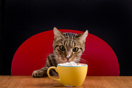 A tabby cat looks with gluttony a bowl full of cream