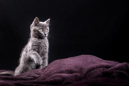 黒の背景に紫の格子縞の上に座って灰色子猫