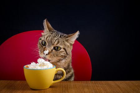 A cat with cream chantilly on the tip of the muzzle