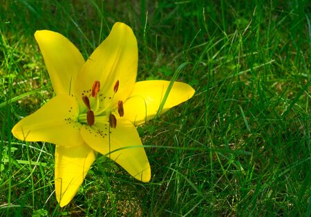 Yellow lily flower on green grass.Copy space