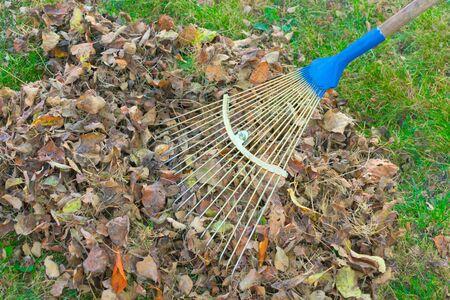 Harvesting leaves in the garden. Autumn work in the backyard.