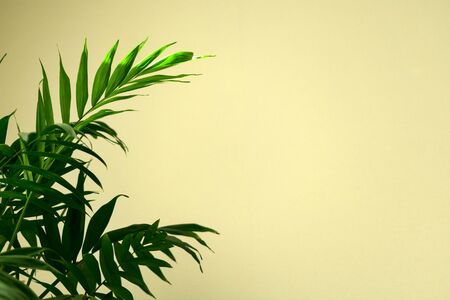 Green leaves of palm tree (Hamedorea) against the background of a white wall. Copy space.