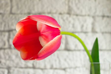 Red tulip on a white background brick wall