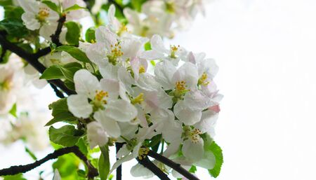 Blossoming branch of apple tree against light sky background. Copy space. Close-up. 版權商用圖片