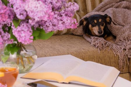 The dog on the couch is wrapped in a blanket. A bouquet of lilacs on the table.