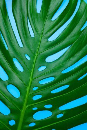 Big tropical leaf monstera. Close-up. Background tropical leaf.