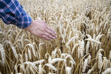 A man with his back to the viewer in a field of wheat touched by the hand of spikes