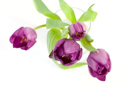 isolated photo of purple tulips in the glass Stock Photo