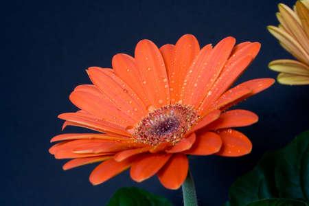 orange gerbera isolated on black photo