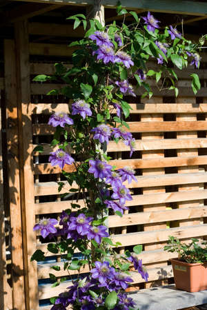 beautiful purple flowers  against the wooden shed