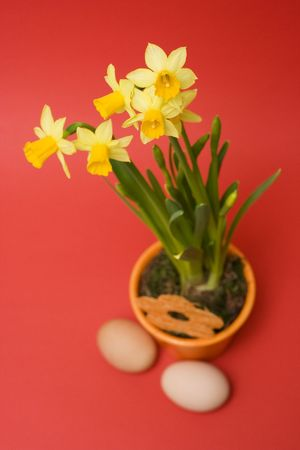 yellow daffodils and eggs isolated on red photo