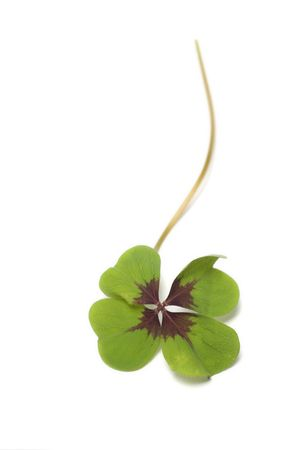 four - leaf clover isolated on white photo