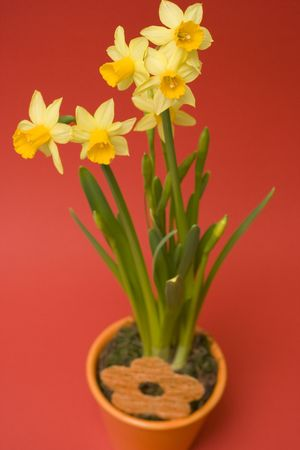 daffodil in flower pot isolated on red photo