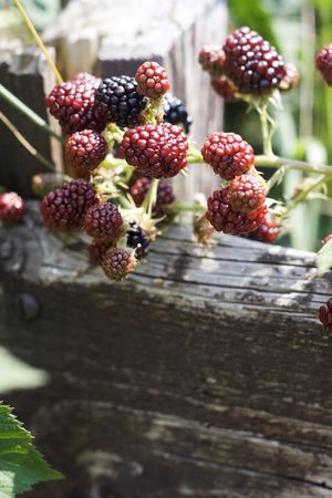 Black and red blackberry fruit in nature photo