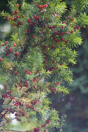 yaw: lot of red berries on the yaw tree. Stock Photo