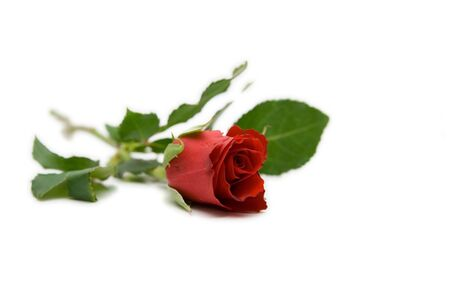 red rose isolated on white with space for text photo