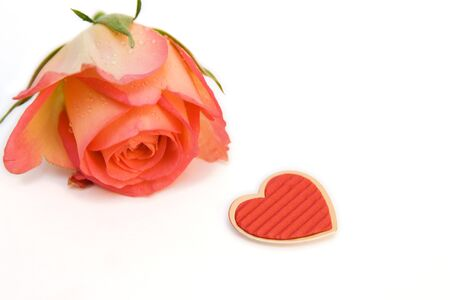 rose isolated on white. space for text photo