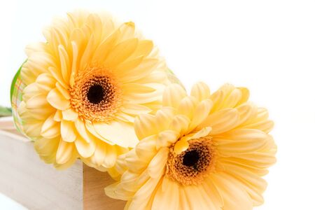 yellow gerberas isolated on white. valentines day photo