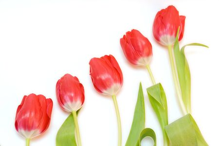red tulips isolated on white. valentines day photo
