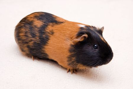 black and brown guinea pig sitting on a floor