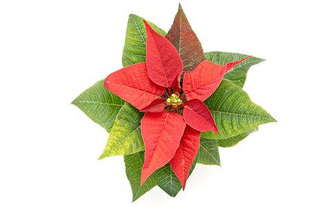 Poinsettia The Christmas Star Flower, isolated on white  photo