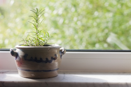 rosemary in a flower pot standing on a windowsill