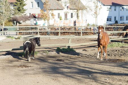 two brown horses standing in a paddock Stock Photo - 12894119