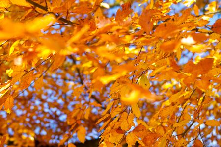 A colorful autumn background with orange leaves Stock Photo - 12985506