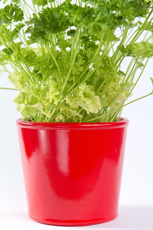 Parsley in a pot isolated on white  Stock Photo - 15736365