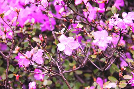 Rhododendron tree pink purple flowers  Фото со стока