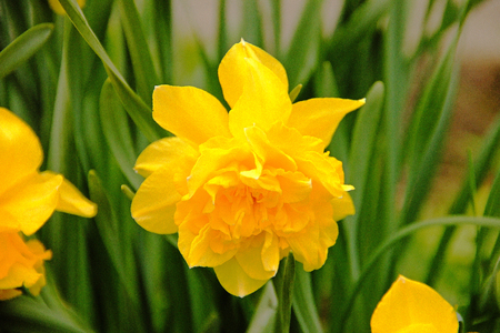 Narcissus yellow flower in the garden summer spring  Banque d'images