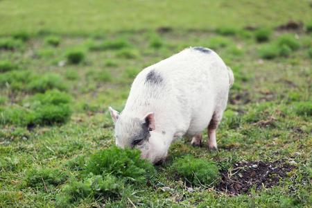 avergonzado: Mini cerdo parece avergonzado y se esconden detr�s de las malas hierbas