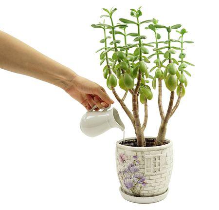 crassula: Money tree Crassula Stock Photo