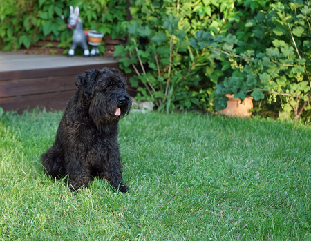 Black dog miniature schnauzer outdoor sits on a glade