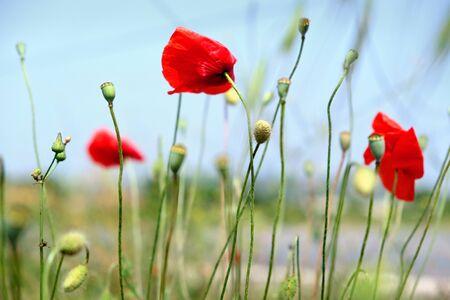 Red opium flower on blue sky background. Red poppies blossom on wild field. Opium poppy full bloom. Macro opium flower. Poppy flower. Field with red flower of the poppy full bloom. Summer background. Foto de archivo