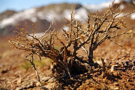Camel thorns grown in Altai and mongolian steppe. Close-up view. Stock Photo