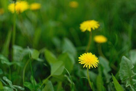 Yellow spring and summer growing dandelions macro shot on a blur background 版權商用圖片