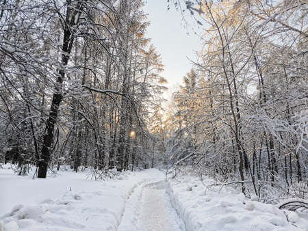 A snow-covered tree line with an early morning sunrise shining through bare branches in the snow. A path that goes through the forest. Winter landscape in Siberia