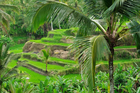 Terrace of rice fields, greenery and palm trees in the afternoon, Bali, Indonesia. Banque d'images