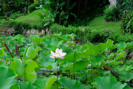 Blooming Lotus surrounded by leaves on a green background