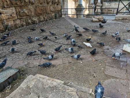 Many pigeons eat food from the ground. Street birds in a public place.