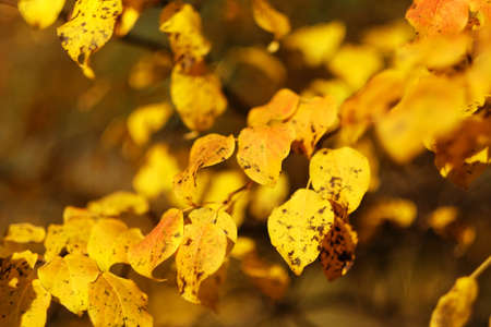 Autumn yellow bright leaves on a tree close-up. Natural background Banque d'images