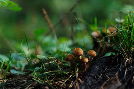 Small mushrooms in the forest. Macro photography of mushrooms in green grass on a summer day
