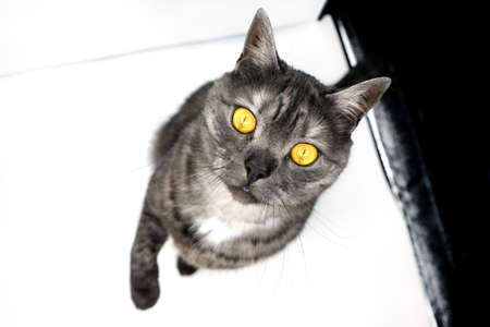 Portrait of a cat with yellow eyes. Banque d'images
