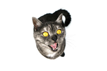 A gray cat with yellow eyes on white