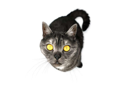 A British shorthair cat sits on a white floor and looks at the camera. Portrait of a cat with yellow eyes.