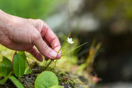 The hand of an adult woman holds a small white flower in nature. Banque d'images