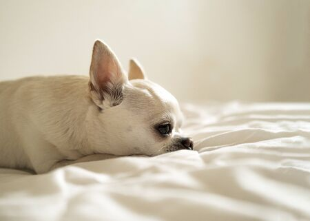 Chihuahua dog lying and sad on a white background.