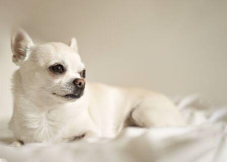Chihuahua dog sitting on a white background Фото со стока