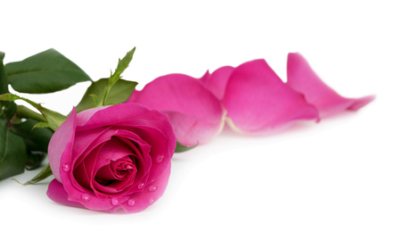 Beautiful pink rose with water droplets on petals isolated on white background with clipping path